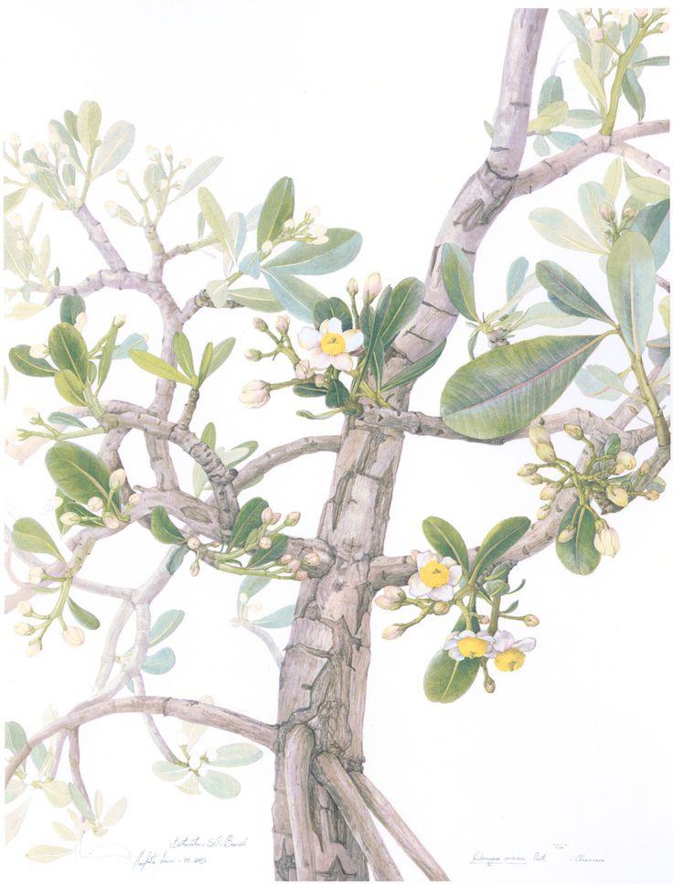Margherita Leoni, Kielmeyera coriacea, 52var, watercolour, cm56x74
