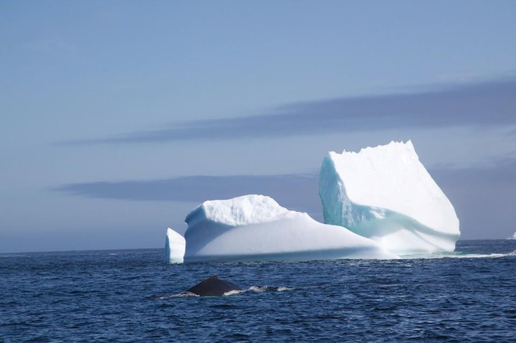 humpback whale and iceberg in Labrador