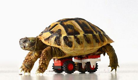 Lego Wheels Help This Disabled Tortoisepet Owners Rock - Injured tortoise gets set lego wheels help move