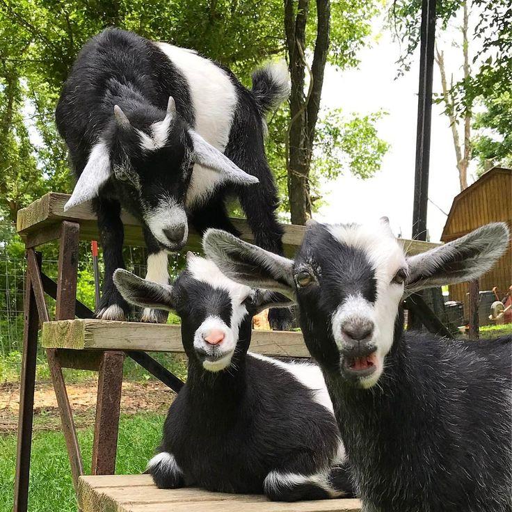 Dottie's girls. Jellybean, Mia, and Zoey. Ranger must be off doing man things.  #goat   #goats   #goatsofinstagram   #goatsgonegrazingacres   #babygoat