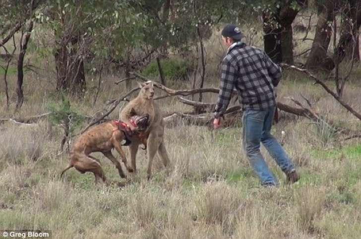 Expertos explican por qué el canguro del famoso video sometió al perro con una llave en vez de huir