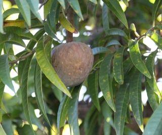 Coeur de Boeuf. Annona reticulata L.