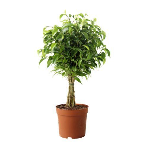 FICUS BENJAMINA 'NATASJA' 鉢植え IKEA
