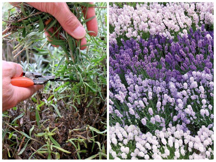 So geht es wirklich mit dem Lavendelschnitt. Tipps zu Zeitpunkt und Schnitttiefe vom Lavendelkönig. Nur Mut, so funktioniert es wirklich.