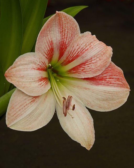Pink Amaryllis Flower