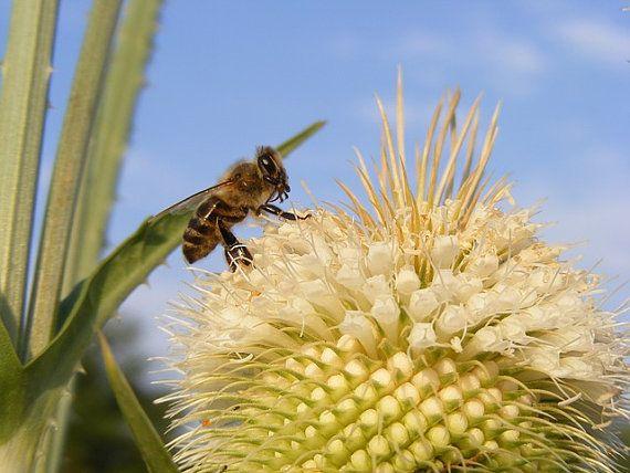 over 100 Seeds Dipsacus fullonum bees di HoneyTreeandBehind
