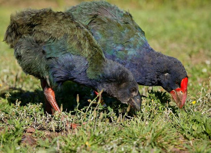 takahe chick, with mother  new zealand