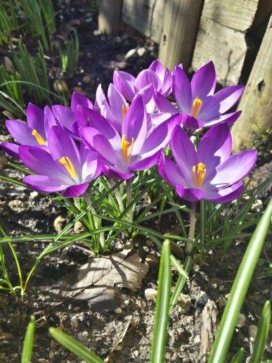 Spring crocus fiori primavera