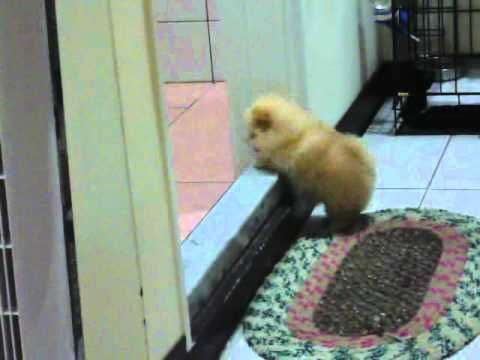 Fluffy Puppy Can't Get Over Step: Minis Minis, Cute Puppies, Little Puppies, Dogs Animal, Animal Videos, Step Videos, Puppies Struggling, Fluffy Puppies, Tiny Puppies