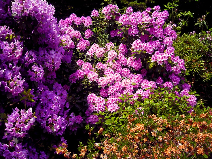 Azalea bushes: Front Gardens, Beautiful Flower, Gardens Ideas, North Side, Side Yard, House North, Gardens Yard, Outdoor Gardens, Beautiful Gardens