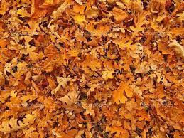 Risultati immagini per immagini foglie di quercia autunnali