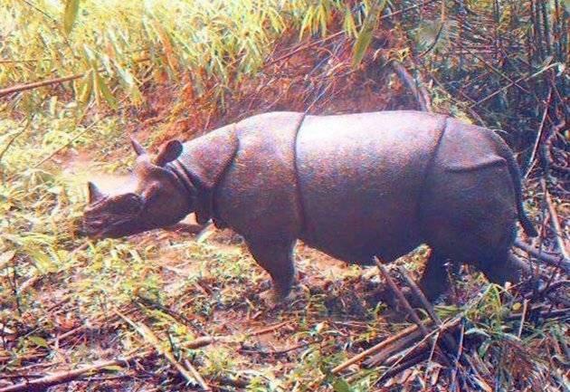 Rare Unseen Pictures of Indonesian Rhinos Javan