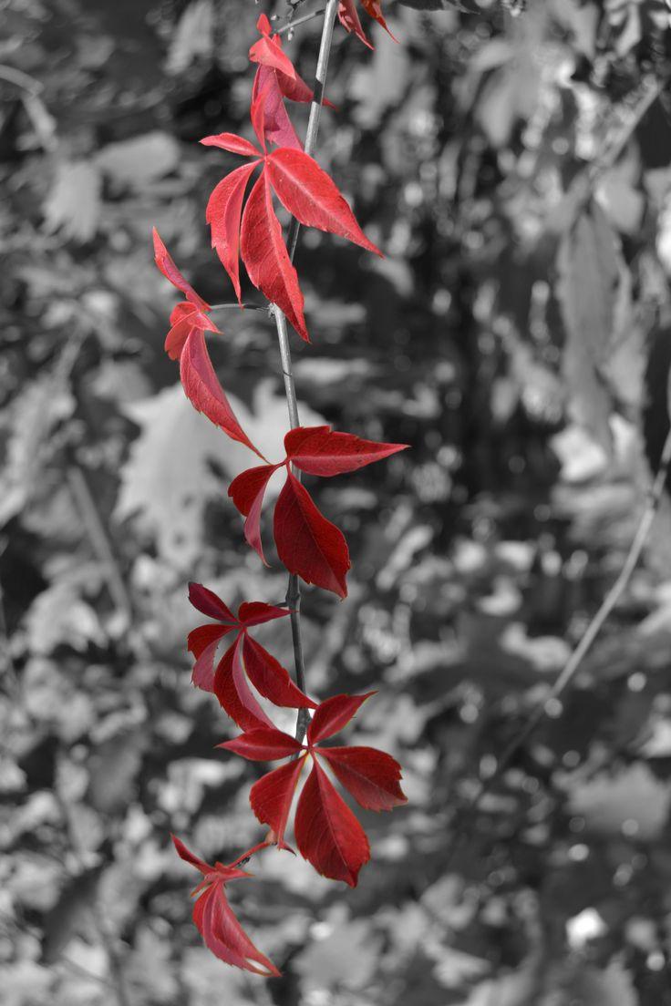 Red vine plant