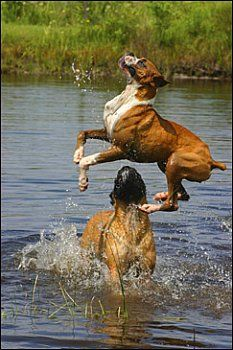 """I got the stick, I got the stick, woof!"" #dogs #pets #Boxers Facebook.com/sodoggonefunny"