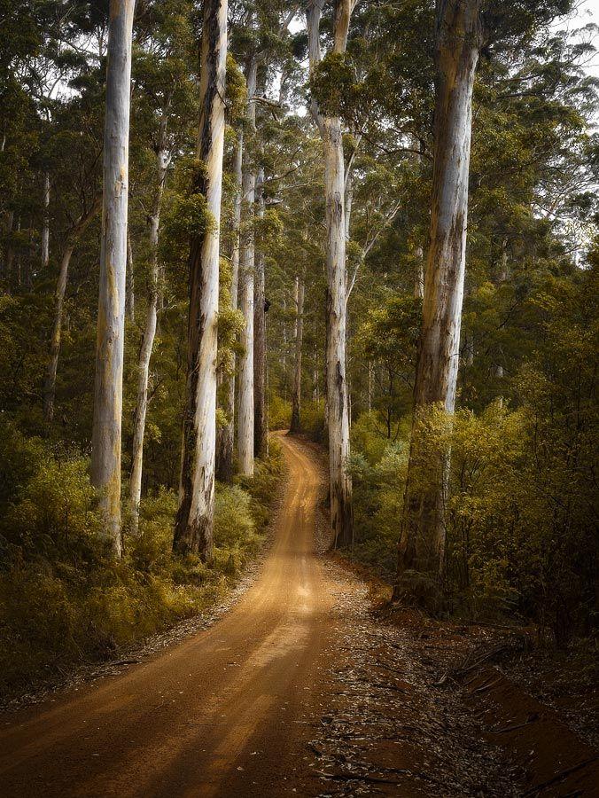 Karri Forest Boranup, SWP0135Ph • Other Format • Galleries • Photographs • Christian Fletcher Photo Images