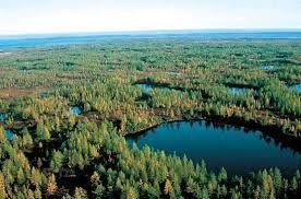 La taiga es un tipo de vegetación caracterizada por las coníferas (pino y abeto). Este bioma está presente en el norte de Rusia, Europa del norte y Canadá.
