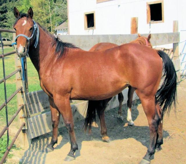 Quarter Horse For Sale | Bay Mare | Horse Classifieds  |