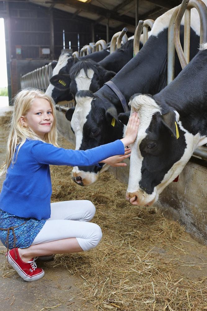 Koeien aaien en verzorgen in de stal.