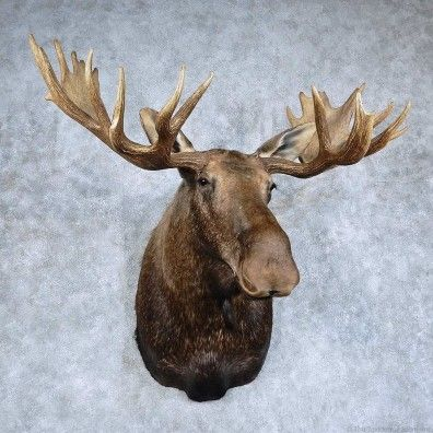 This stunning Canadian moose taxidermy mount is for sale @thetaxidermystore.com