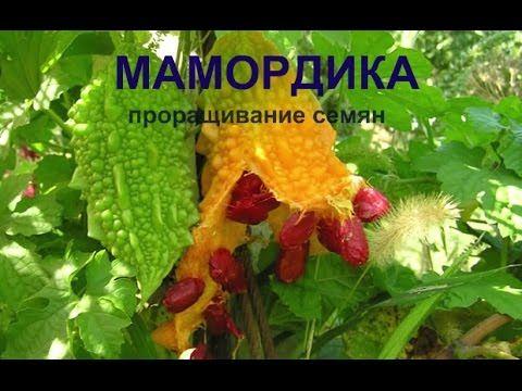 Мамордика.Проращивание семян.