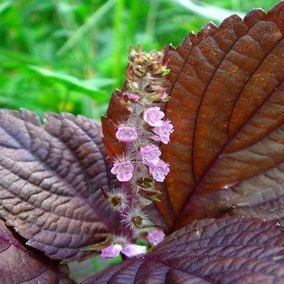 Wild Basil Beefsteak Plant Herb Seeds (Perilla Frutescens) 50+ Seeds - Under The Sun Seeds   - 2