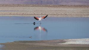 Flamingo in der Laguna Chaxa auf dem Salar de Atacama