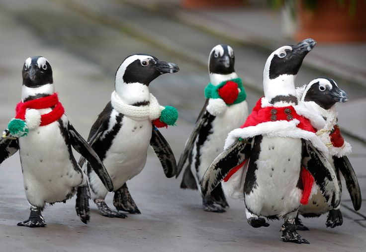 Penguins take a walk at the Hakkeijima Sea Paradise aquarium-amusement park complex in Yokohama  //  Itsuo Inouye