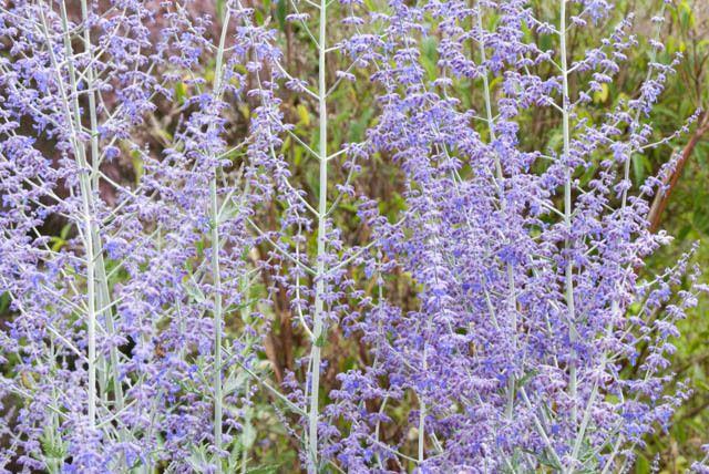 Perovskia Atriplicifolia, Russian Sage, Full sun perennial, Best performing…