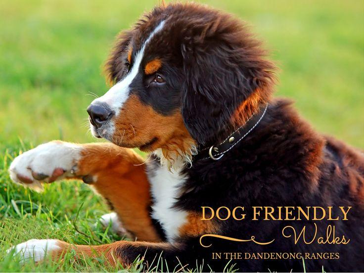 Dog Friendly Walks in the Dandenongs
