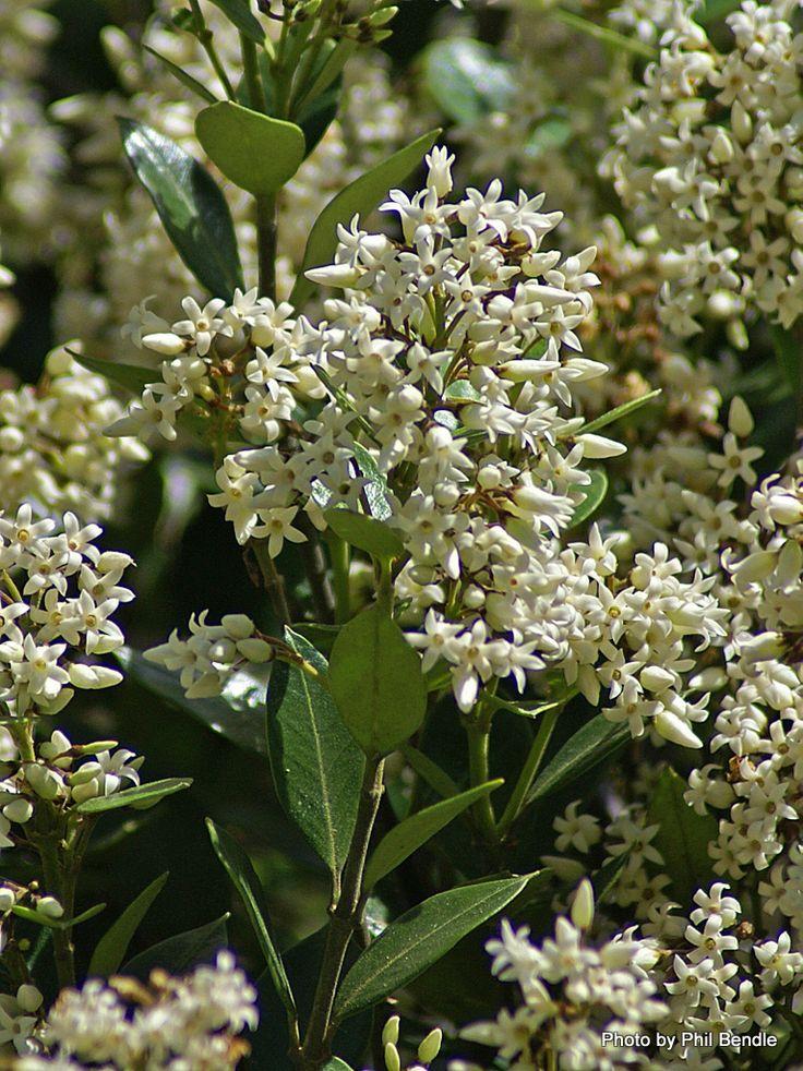 T.E.R:R.A.I.N - Taranaki Educational Resource: Research, Analysis and Information Network - Parsonsia heterophylla (New Zealand Jasmine)