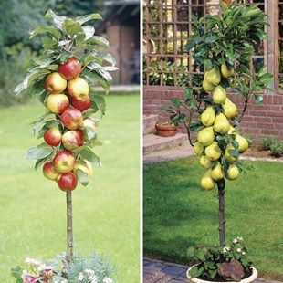 Patio Apple (Gala) & Pear (Doyenne) Trees 9cm Pot  Or perhaps an apple tree for window??