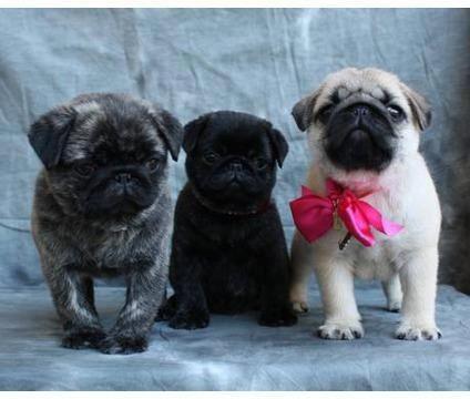 Itty bitty baby pugs I wish I had them all!!!!!