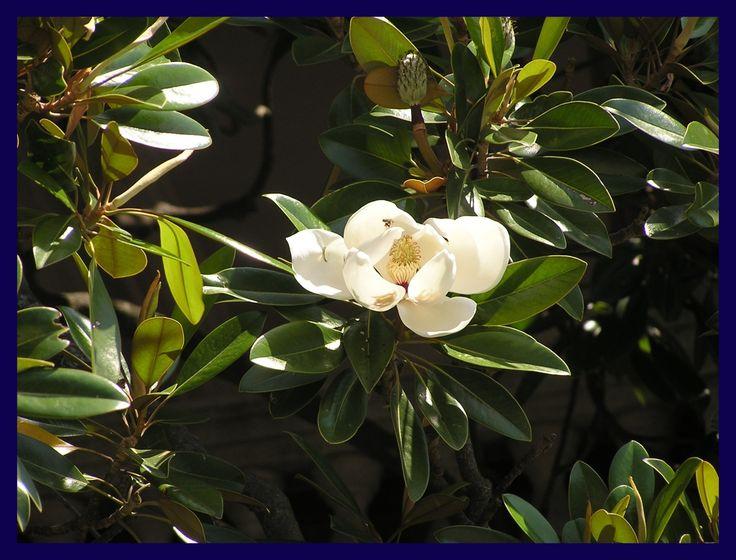 Zenfidan Magnolia grandiflora Manolya Fidanı, 20-40 cm, Saksıda, Plantistanbul - fidan satışı, fidan siparişi, Meyve Fidanı ve Süs Bitkileri, elma, armut, erik, kiraz, vişne, şeftali, böğürtlen, asma, üzüm