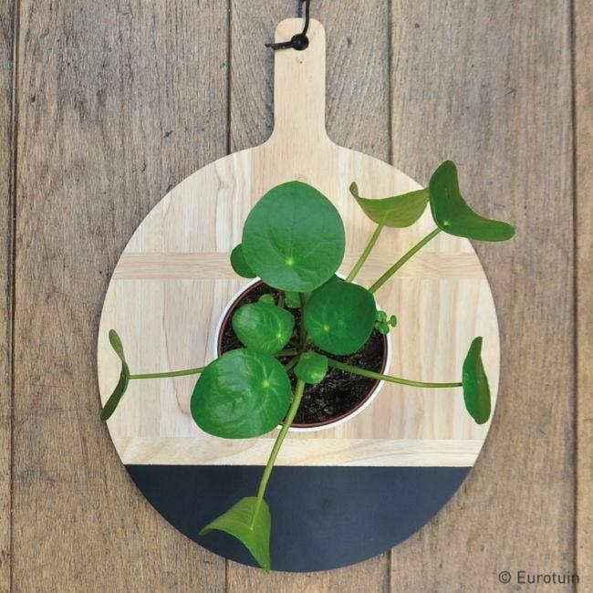 Pilea peperomioides - pannenkoekenplant - Chinese geldplantPot 12cmWater: niet teveel water geven. Potgrond lichtjes laten opdrogen tussen 2 gietbeurtenStandplaats: verdraagt zowel weinig als veel lichtMakkelijk en eenvoudig plantje met decoratieve, ronde blaadjes (vandaar de Nederlandse naam pannenkoekenplant).Kan je zelf vermeerderen door het nemen van stekken.