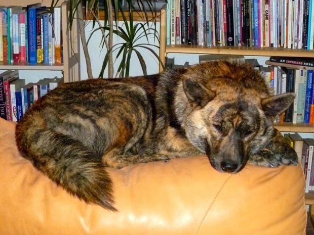 kai ken http://flarebox.info/10-rare-dog-breeds-you-may-have-never-heard-about/?utm_source=taboola&utm_medium=referral&utm_term=mediaforceuk-scottishprovincial-northernscot
