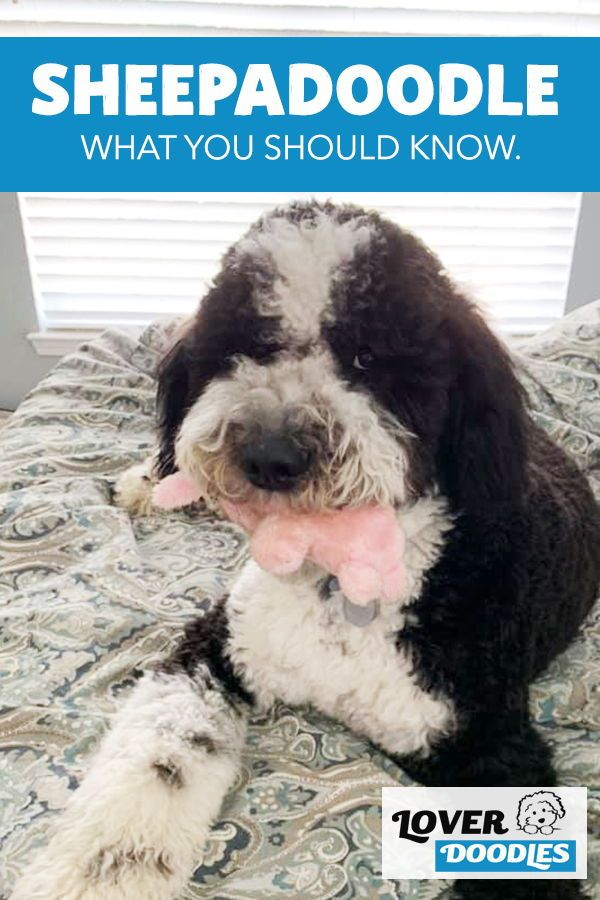 Sheepadoodle 101 What You Need To Know In 2020 Sheepadoodle Sheepadoodle Puppy Doodle Dog Breeds