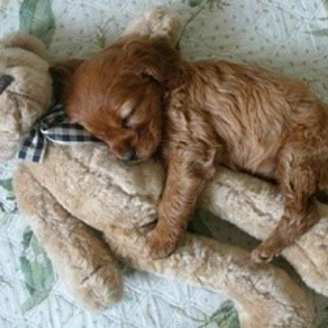 Awwe: Teddy Bears, So Cute, Cocker Spaniel, Puppys Love, My Heart, Cuddling Buddies, Little Puppys, Cute Puppys, So Sweet