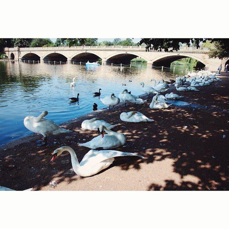 #swans #whiteswan #kensingtonpark #london #londonpark #visionlondon #instahub #instagood #vscogram #vscocam #july…