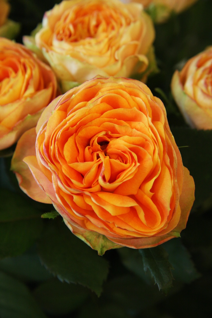 Orange Garden Rose: 17 Best Images About Flowers In Orange (selected By