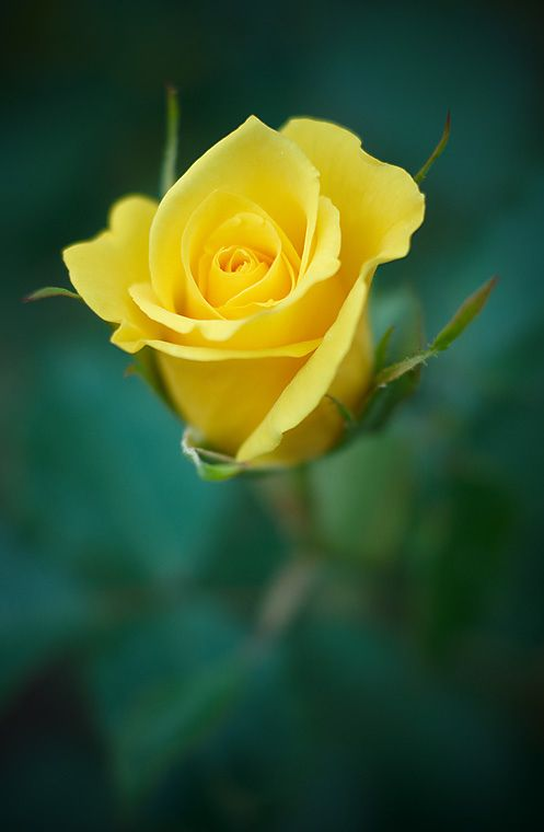 """blooms-and-shrooms: """" Yellow rose by Igor Nikitin """""""