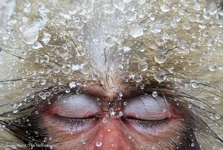 Relaxation. Japanese macaque. (Photo by Jasper Doest, Netherlands)