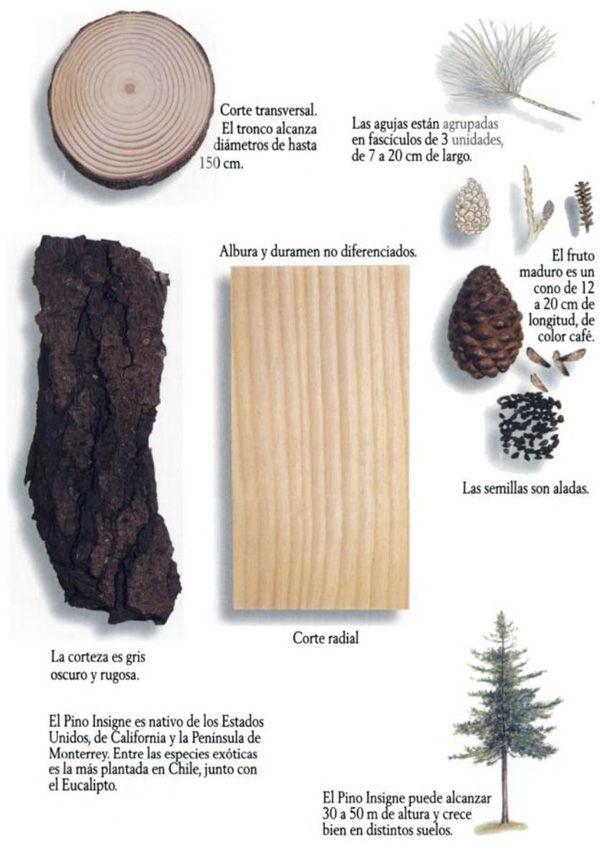 ficha tecnica del pino insignis o pino radiata