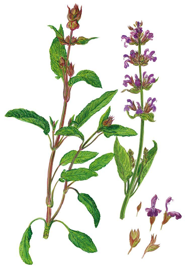 Salbei mit Blüten und Knospen