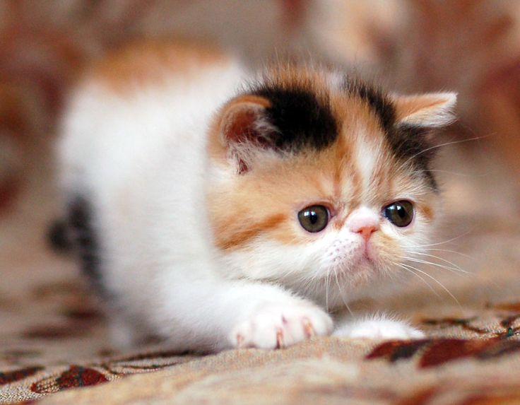 котята экзотические картинки культах карго