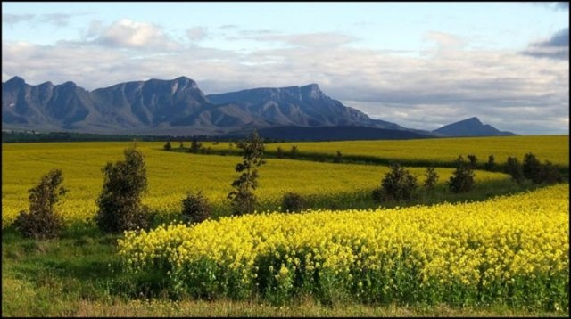 Canola fields and the Stirling Range, Great Southern Region, Western Australia