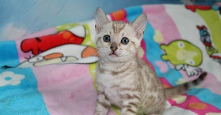Best Images Bengal Cats Marbled Thoughts Bengal Kittens For Sale Bengal Kitten Bengal Cat Breeders