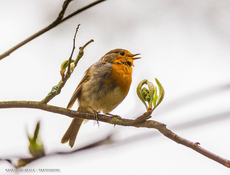 My first 'Erithacus rubecula' by Maurizio Di Renzo on 500px