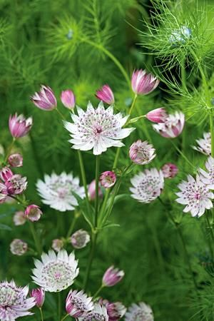 Astrantia major with Love in a mist.... perfect cottage garden combination