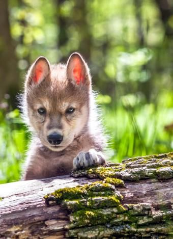 Young wolf cab. .