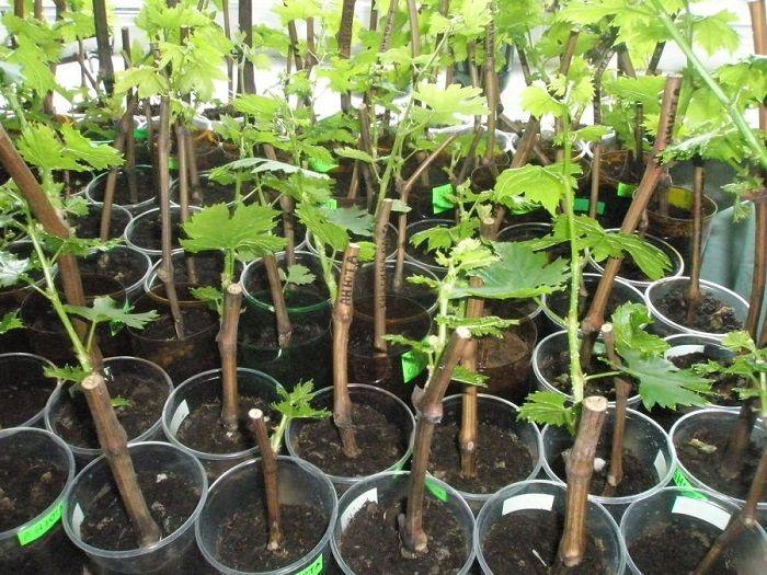 Обычно виноград размножают одревесневшими черенками. Зимой самое время заняться этим делом, так как, посадив черенки на подоконники, можно за год вырастить мощные лозы и уже на второй год получить си…